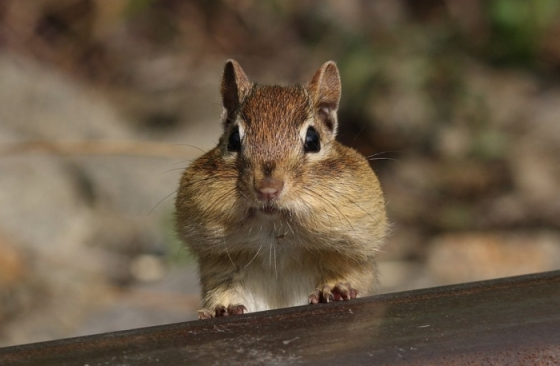 Eastern Chipmunk with cheeks filled of food supply, Cap Tourmente National Wildlife Area, Quebec, Canada by Cephas